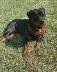 Tyson Family Protection Dog