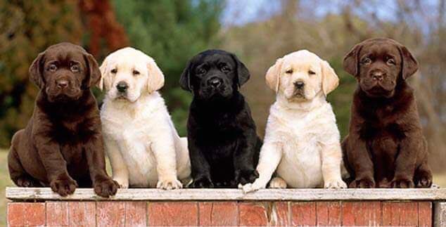 AKC English Labrador Puppies For Sale