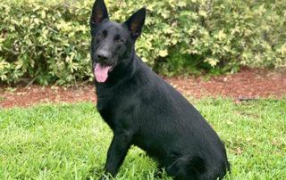 Rascal Family Protection Dog