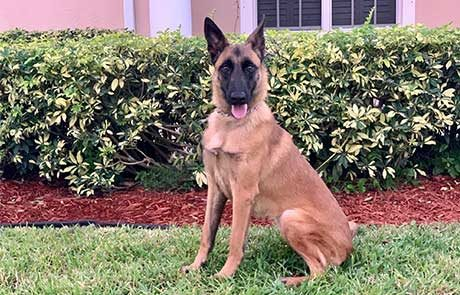 Elektra Belgian Malinois Featured Protection Dog