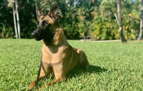 Elektra Belgian Malinois Family Protection Dog Featured