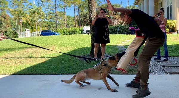 Elektra Belgian Malinois Featured Protection Dog