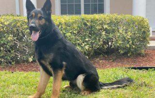 Conan German Shepherd Protection Dog